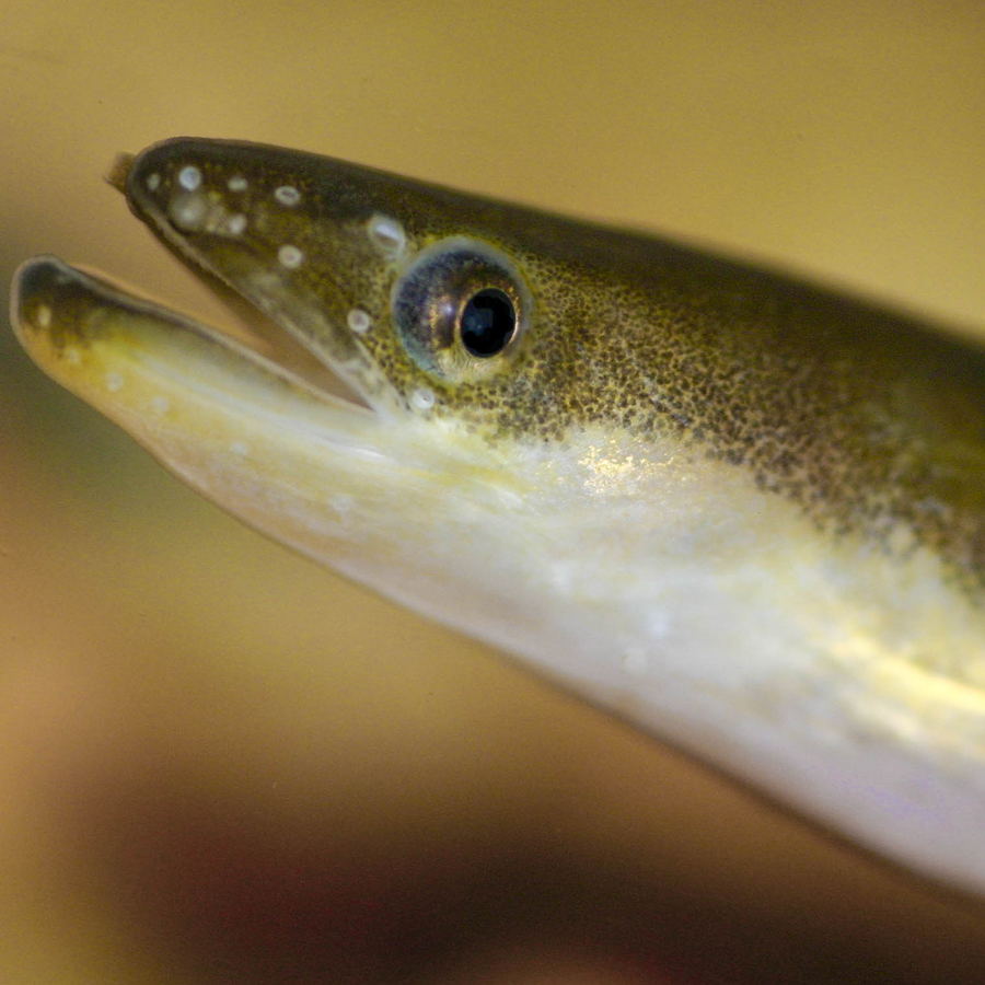 differences between a lamprey and an eel critfc
