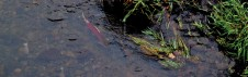 Much smaller than their chinook cousins, these two bright red coho salmon return to Lapwai Creek to spawn.