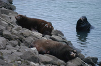 Sea lions on the shore near Bonneville Dam