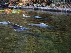 Lookingglass Creek swimming salmon