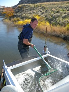 Nez Perce fisheries staff members Scott Everett (left) and Joe Samuels (right) net and release adult steelhead into the Snake River just below Lower Granite Dam.