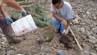 Jerald Reed (r) and Frank Flett planting a native ponderosa pine to help rebuild the natural riparian area along the restored creek.